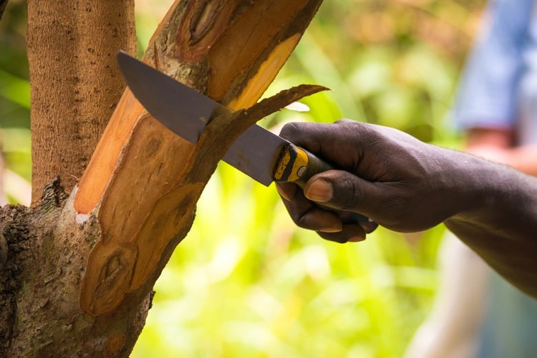 Farmer cutting pieces of a cinnamon tree for tasting purpose during a Spice Tour on Zanzibar