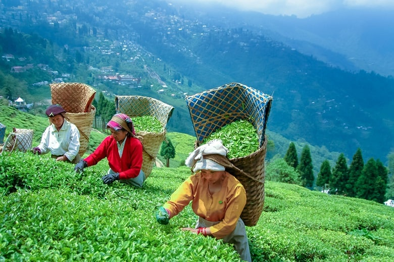 pick black tea in DARJEELING
