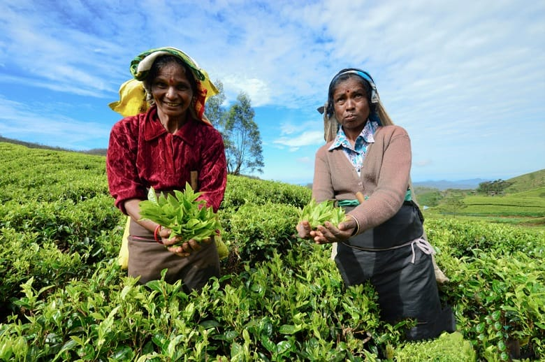 pick tea in CEYLON